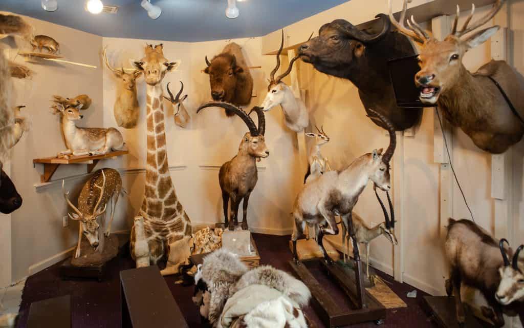 """כל החיות המוזכרות בתנ""""ך נמצאות במוזיאון חיות התורה (צילום: משה רובין)"""