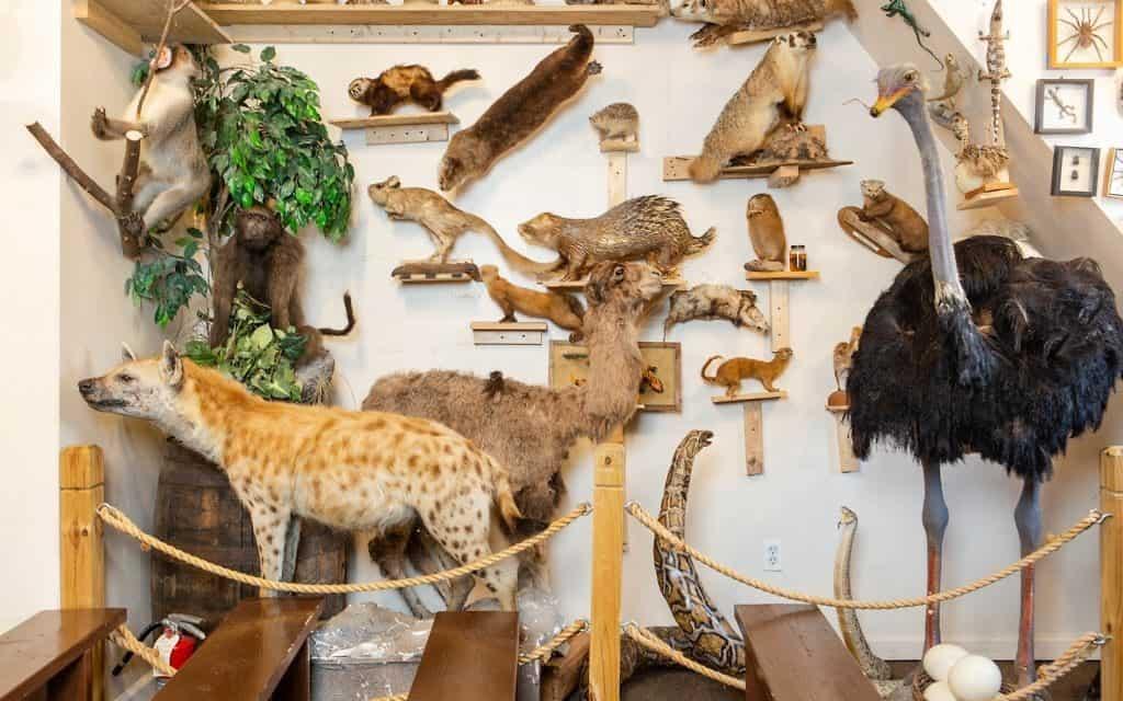 כל חיות התורה מפוחלצות במוזיאון (צילום: משה רובין)