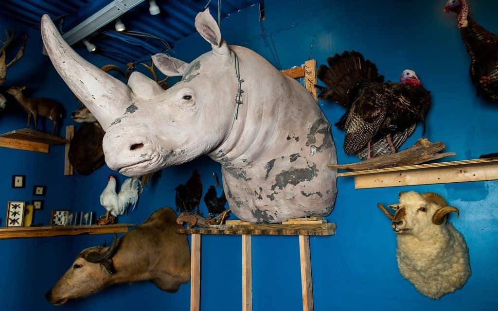 קרנף לבן במוזיאון חיות התורה בניו יורק (צילום: משה רובין)