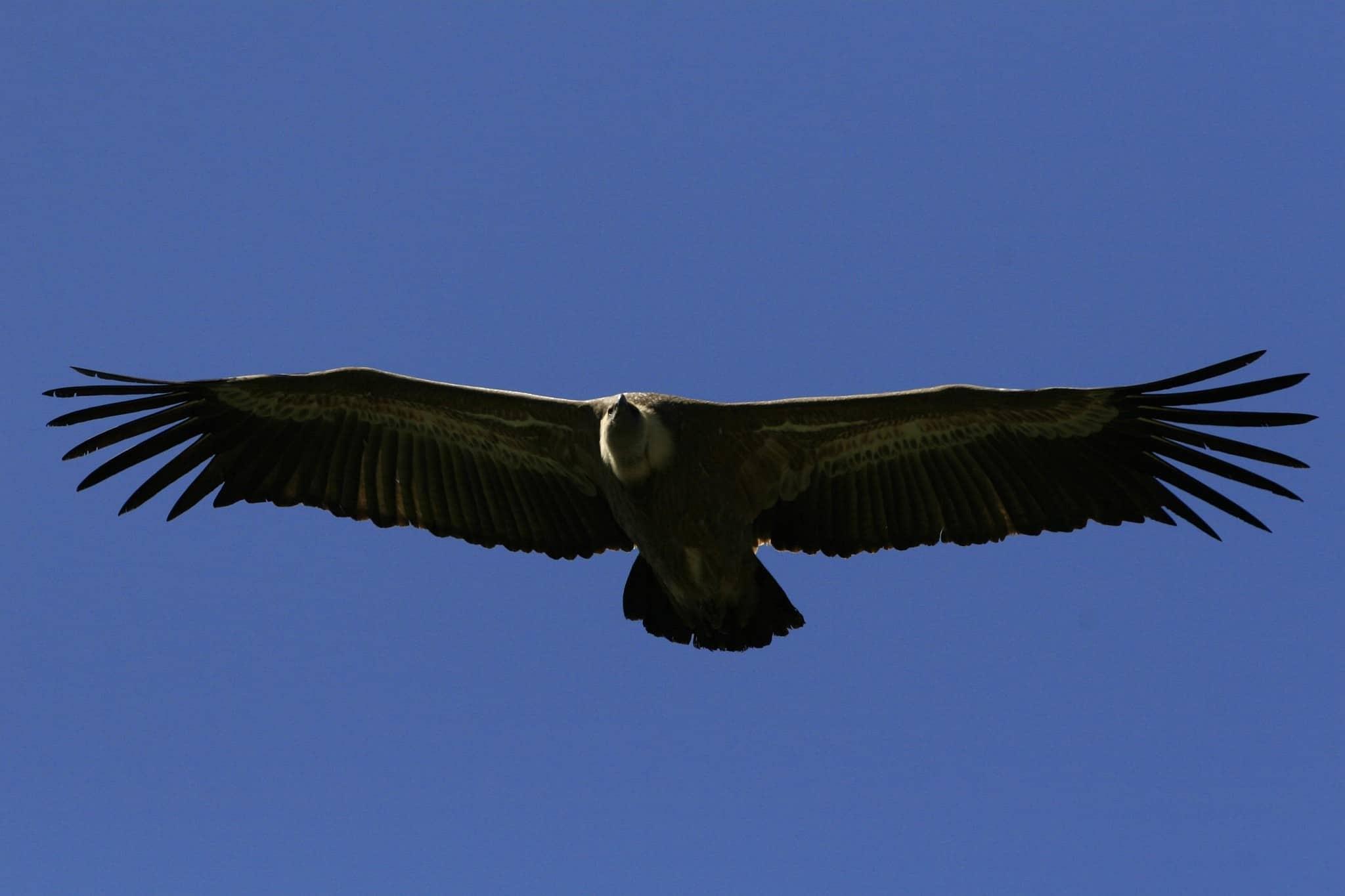 נשר בשמי רמת הגולן (צילום: נתי שוחט/פלאש90)
