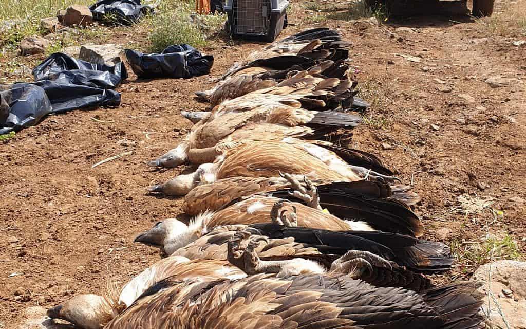 נשרים שמתו מהרעלה ברמת הגולן (צילום: דודו פילס / רשות הטבע והגנים)