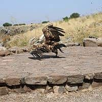 נשר ברמת הגולן (צילום: צילום יניב כהן רשות הטבע והגנים)