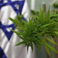 צמח קנאביס שהובא לכנסת (צילום: קובי גדעון / פלאש 90)