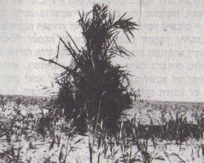 הדקל שצמח במקום מותו של אבשלום פיינברג (צילום: בנימין רן)