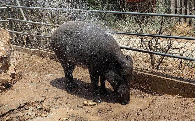 חזיר בר בגן החיות בבאר שבע. למצולם אין קשר לכתבה, פשוט לא מצאנו תמונה של חזיר בר ירדני (צילום: פלאש90)