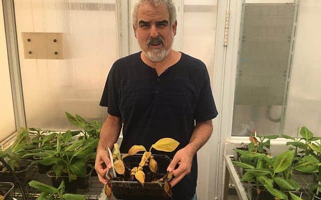 """ד""""ר דרור מינץ עם שתיל בננה נגוע (צילום: אמיר בן-דוד)"""
