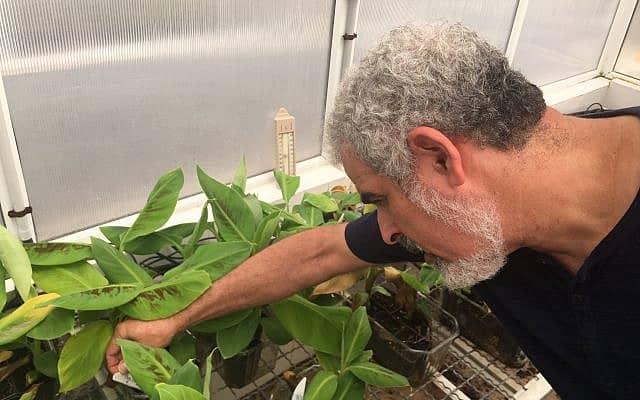 ד״ר דרור מינץ במעבדת הבננות (צילום: אמיר בן-דוד)