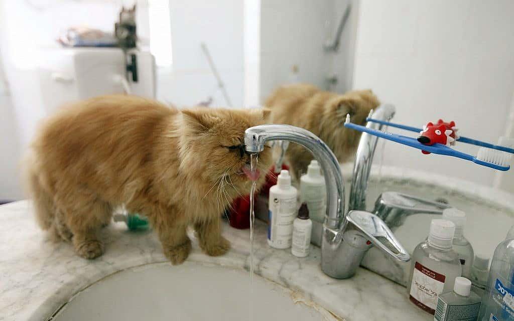 חתול ישראלי שותה מהברז (צילום: Miriam Alster/FLASH90)