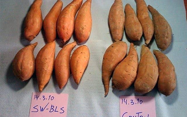 משמאל: בטטות שעברו תהליך ניקוי והברקה. מימין: בטטות רגילות (צילום: מתוך המצגת של SweetGuard)