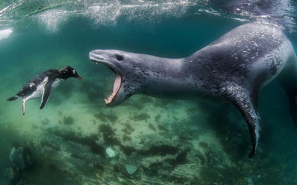 פינגווין עומד בפני כלב ים נמרי (צילום: באדיבות עמוס נחום)
