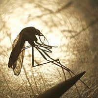 יתוש (צילום: AP Photo/Rick Bowmer,)