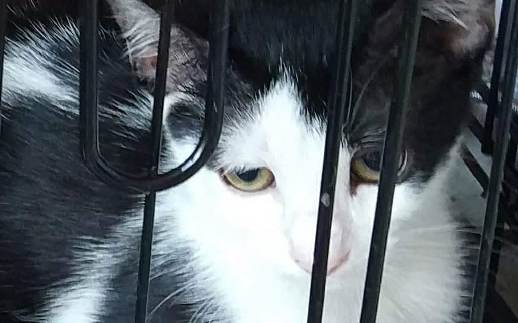 החתולה של דנה. נלקחה אחרי העיקור לטיפול בבית החולים הווטרינרי בבית דגן