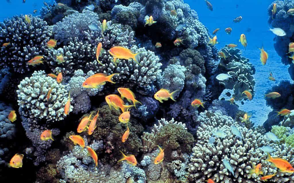 אלמוגים ופזיות בשמורת חוף האלמוגים באילת (צילום: Daviddarom/Wikipedia)