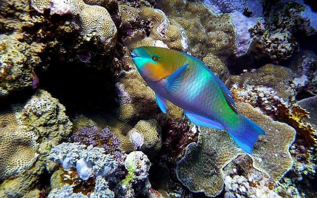 תוכינון חלוד בשמורת חוף האלמוגים באילת (צילום: David Sanford/Wikipedia)