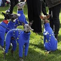 דגלי האיחוד האירופי מולבשים על כלבים בהפגנה נגד הברקזיט היום בלונדון. הפרלמנט דחה את ההצבעה על עסקת הברקזיט של ראש הממשלה ג'ונסון. בריטניה אמורה לצאת מהאיחוד בסוף החודש (צילום: AP Photo/Kirsty Wigglesworth)