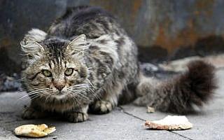 חתול רחוב בירושלים. אילוסטרציה (צילום: מרים אלסטר/פלאש90)