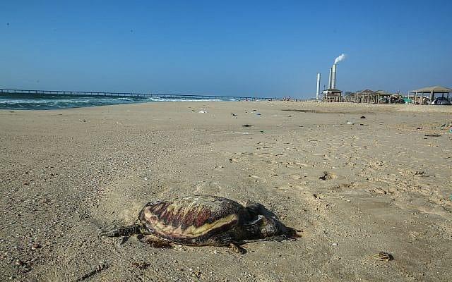 צב ים מת בחוף זיקים (צילום: אדי ישראל/פלאש90)