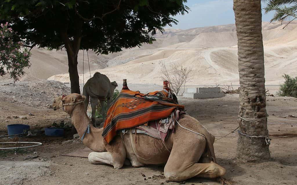 גמלים באתר הדתי נבי מוסא (צילום: שמואל בר-עם)