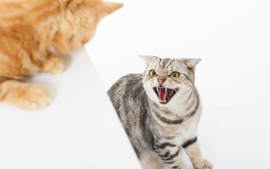 חתולים זועמים (צילום: Tomwang112- iStock)