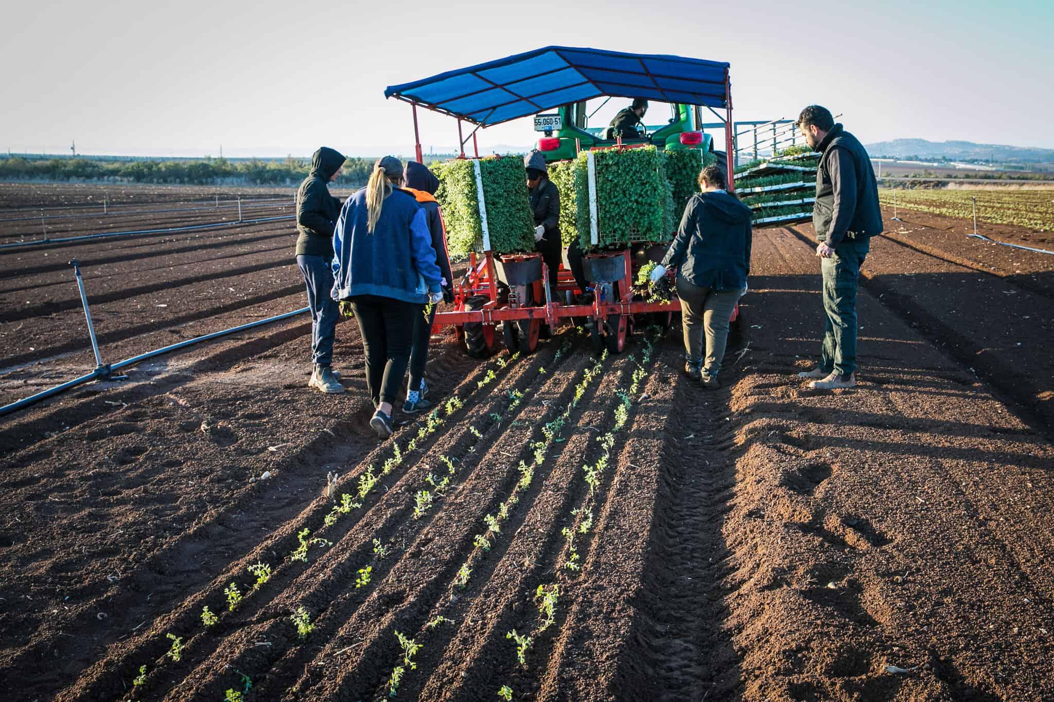 חקלאים ישראלים שותלים צמחי זעתר בשדות בעמק יזרעאל. נובמבר 2019 (צילום: Anat Hermony/Flash90)