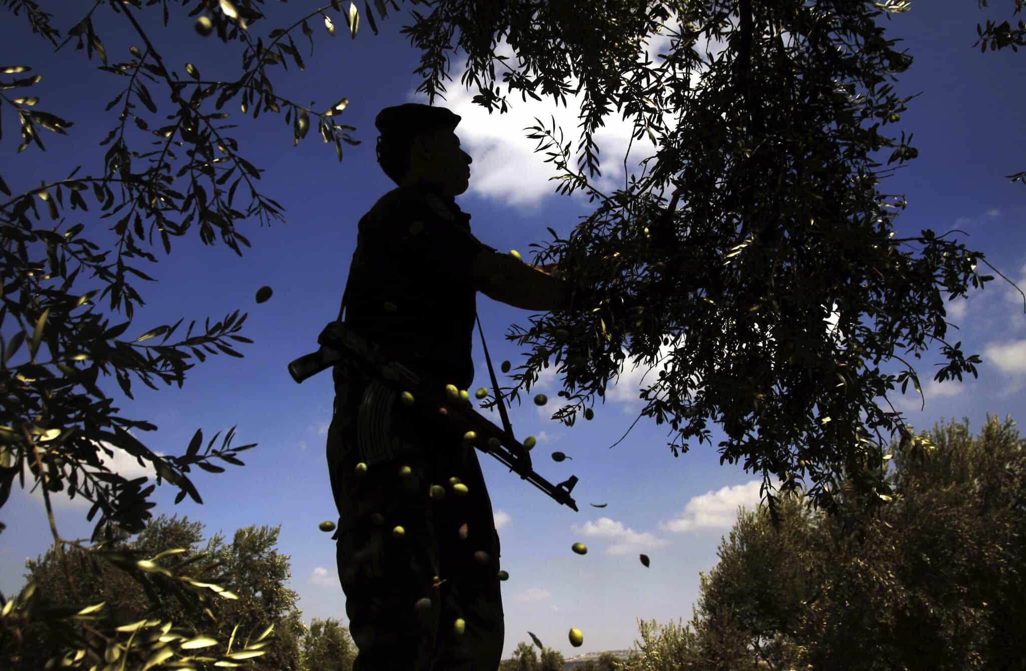 איש ביטחון של הרשות הפלסטינית משתתף במסיק זיתים בגדה, ארכיון (צילום: AP Photo/Mohammed Ballas)
