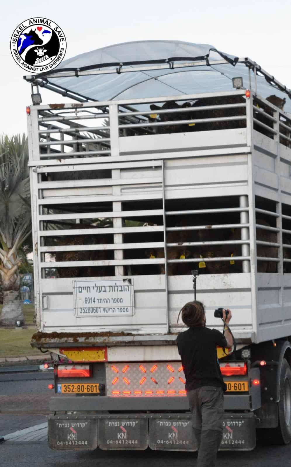 משאית ובה עגלים שהגיעו מאוסטרליה לאילת (צילום: ישראל נגד משלוחים חיים)