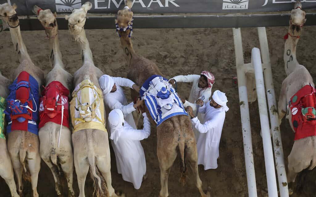 הכנות למירוץ גמלים בדובאי, ארכיון, 2017 (צילום: AP Photo/Kamran Jebreili)