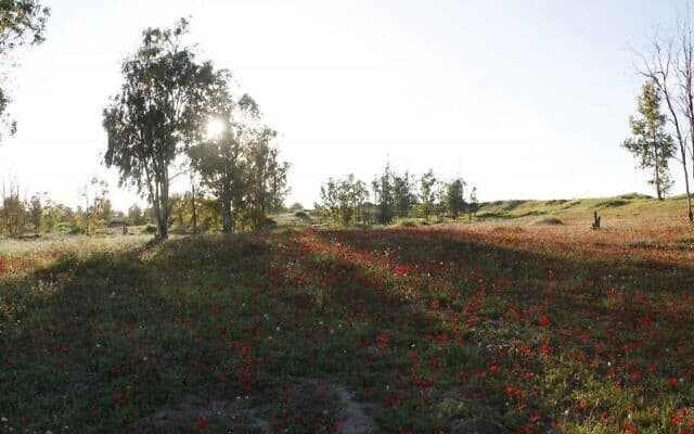 כלניות פורחות בדרום הארץ, בסמוך לגבול עם עזה (צילום: יהודה ארי גרוס)