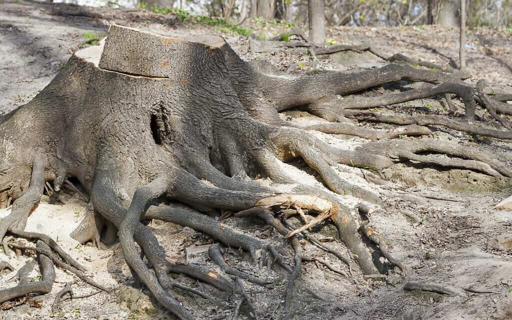 גזע עץ עתיק כרות (צילום: iStock-Panama7)