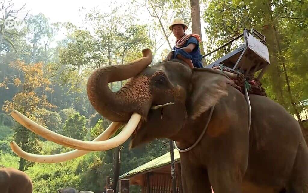 "רכיבה על פילים. צילום מסך מתוך סרט:  8:02 / 12:37 Elephant rides in Thailand: Fun or cruel? | DW Documentary 33,461 views•May 13, 2019  345  34  SHARE  SAVE   DW Documentary 1.29M subscribers Nueng the elephant is an attraction for rides – though it's unlikely to be his choice. The 30 year old male is one of the elephants in the Maesa Elephant Camp in Chiang Mai, Northern Thailand.  Taking an elephant ride is at the top of many tourists' wishlists. It's a thriving business, particularly with Chinese holidaymakers. However, resistance to this popular spectacle is growing among animal welfare organisations. Consequently, many elephant camps now only offer visitors the chance to feed the animals or bathe with them. Yet these ""No riding"" camps disappoint most tourists. Many animal welfare activists are convinced that elephants in captivity are subjected to a cruel taming procedure when they are young. The staff responsible for the camp would rather not say whether Nueng and the other elephants have been tortured in this way. We accompany Nueng the riding elephant on a typical day's work. A report by Florian Nusch. _______  DW Documentary gives you knowledge beyond the headlines. Watch high-class documentaries from German broadcasters and international production companies. Meet intriguing people, travel to distant lands, get a look behind the complexities of daily life and build a deeper understanding of current affairs and global events. Subscribe and explore the world around you with DW Documentary.  Subscribe to DW Documentary: https://www.youtube.com/channel/UCW39… Visit our Spanish channel: https://www.youtube.com/dwdocumental Visit our Arabic channel: https://www.youtube.com/dwdocarabia For more documentaries visit: http://www.dw.com/en/tv/docfilm/s-3610 Instagram https://www.instagram.com/dwdocumentary/ Facebook: https://www.facebook.com/dw.stories  DW netiquette policy: http://www.dw.com/en/dws-netiquette-p… Up next AUTOPLAY"