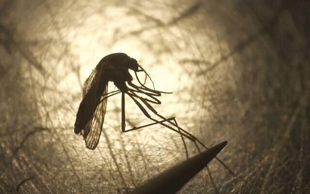יתושים אינם נשאים של קורונה (צילום: AP Photo/Rick Bowmer, File)