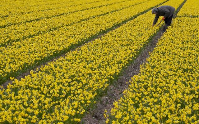 עבודה בשדה פרחים בהולנד בעת משבר הקורונה, מרץ 2020 (צילום: AP Photo/Peter Dejong)
