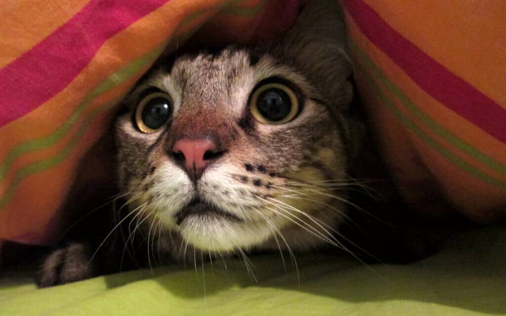 חתול מפוחד (צילום: iStock-Sparkle)