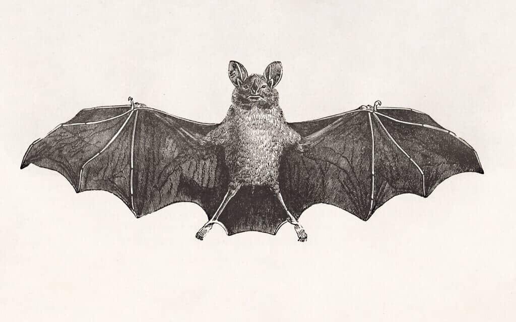 אילוסטרציה צרפתית עתיקה של עטלף (צילום: iStock-retrofutur)