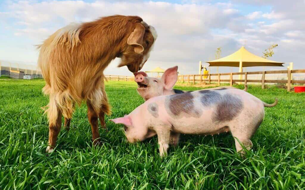 החיות בחוות החופש (צילום: חוות החופש)