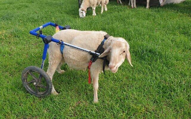 אמיר הכבש בחוות החופש (צילום: אביב לביא)