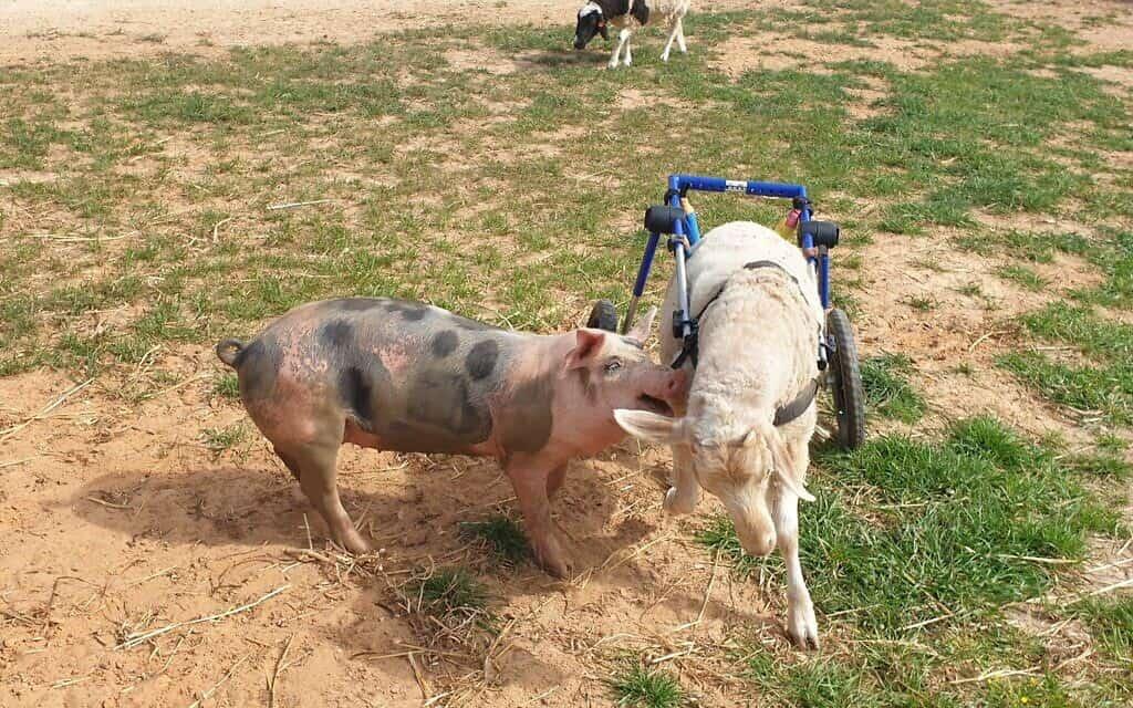 החזירים בחוות החופש (צילום: חוות החופש)