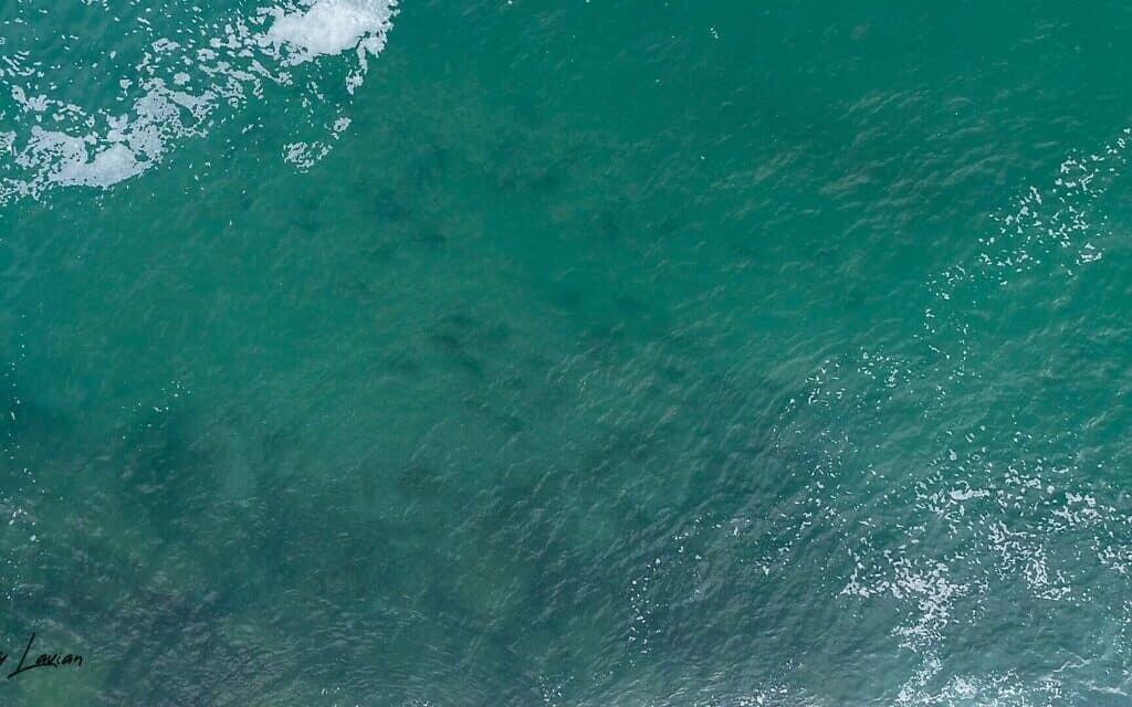 כרישים באזור המים החמים באשדוד (צילום: גיא לויאן, רשות הטבע והגנים)