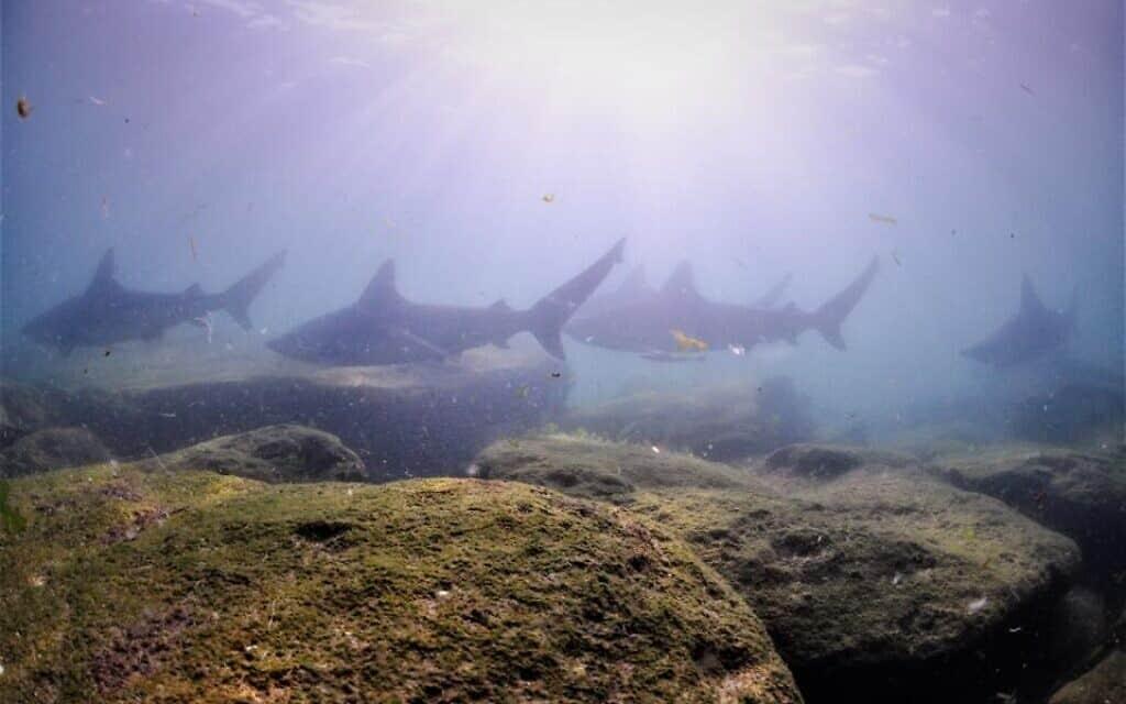 כרישי סנפירתן באזור המים החמים באשדוד (צילום: רן גולן, מועדון הצלילה של מודיעין)