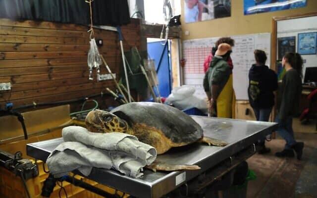 צב ים מקבל טיפול במרכז להצלת צבי ים במכמורת (צילום: יניב לוי, רשות הטבע והגנים)
