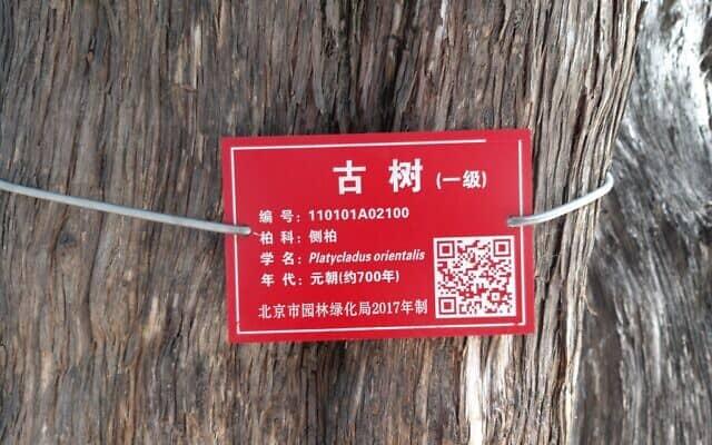 עצים במקדש קונפוציוס בבייג'ינג (צילום: יפעת פרופר)