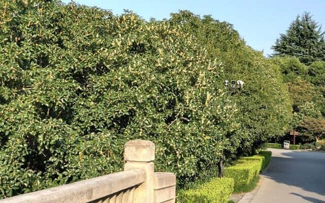 עצי ה-Gui Huar (צילום: יפעת פרופר)