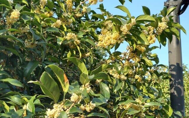 עץ ה-Gui Huar (צילום: יפעת פרופר)