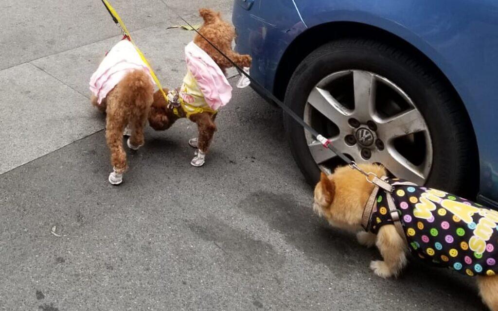 כלבים בנעלי מעצבים ברחובות שנגחאי