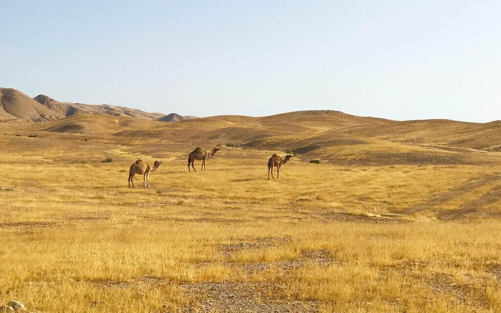 גמלים באזור כביש הבוקע הדרומי (צילום: אמיר בן-דוד)
