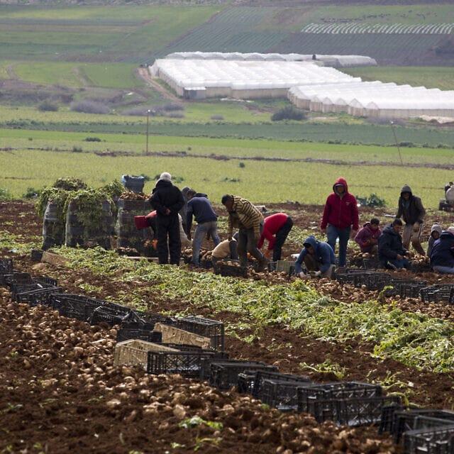 חקלאים פלסטינים בשטח לגידול בצלים בבקעת הירדן בגדה המערבית, 10 בפברואר, 2020 (צילום: AP\ מגד'י מוחמד)