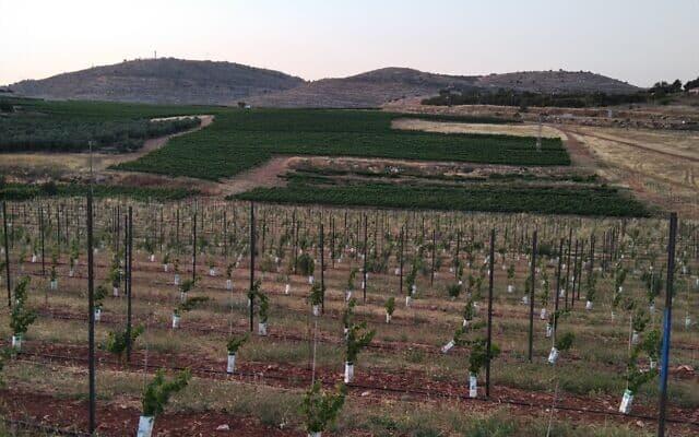 שדות האוכמניות ליד ההתנחלות שילה (צילום: עירא רפפורט)