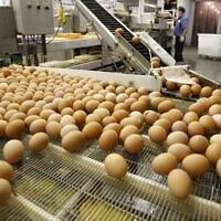 ביצים אורגניות עוברות לאורך קו המיון (תצלום ארכיון) (צילום: AP Photo/Toby Talbot)