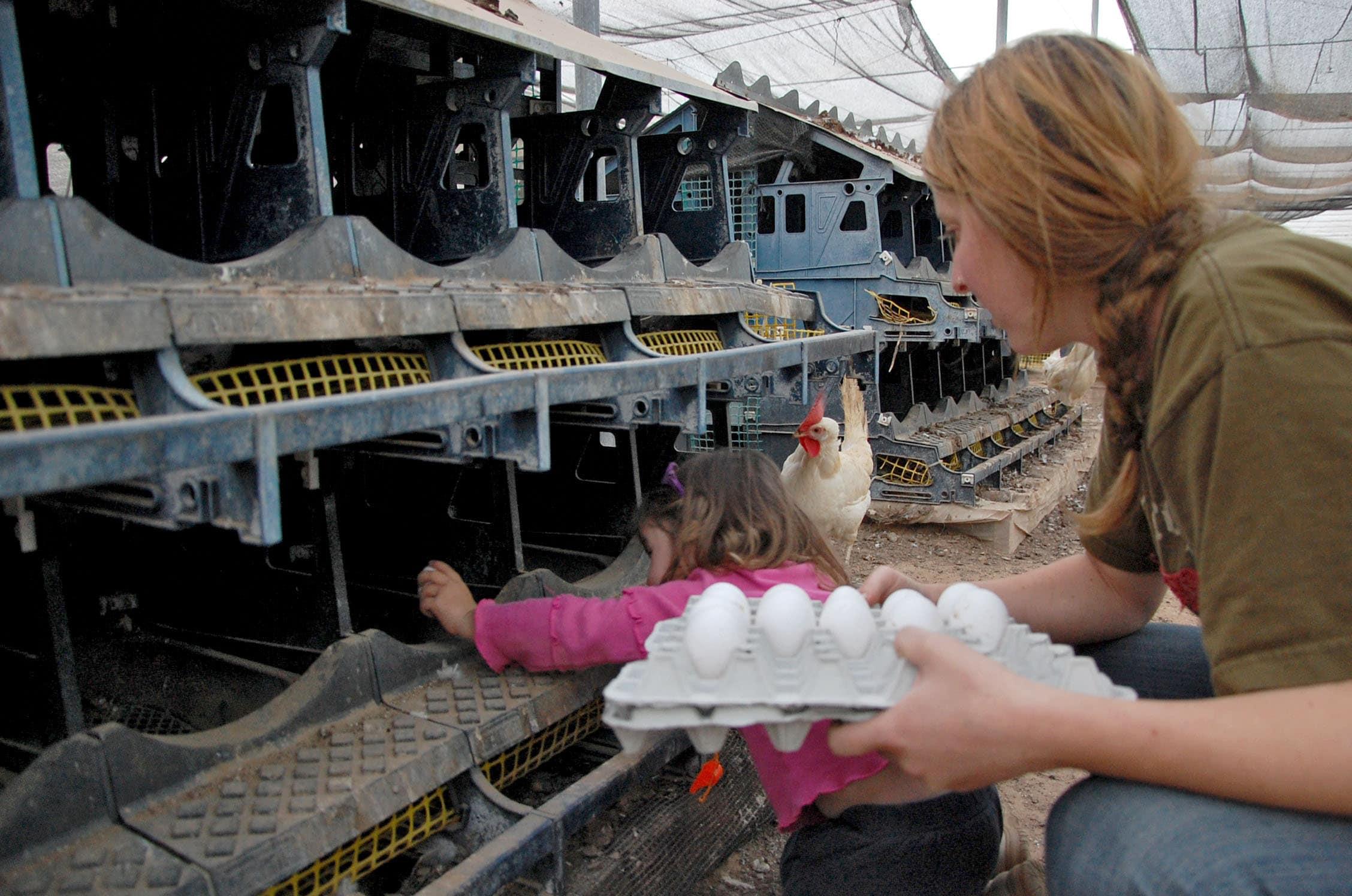 איסוף ביצים בלול תרנגולות (צילום: Rachael Cerrotti/Flash90)