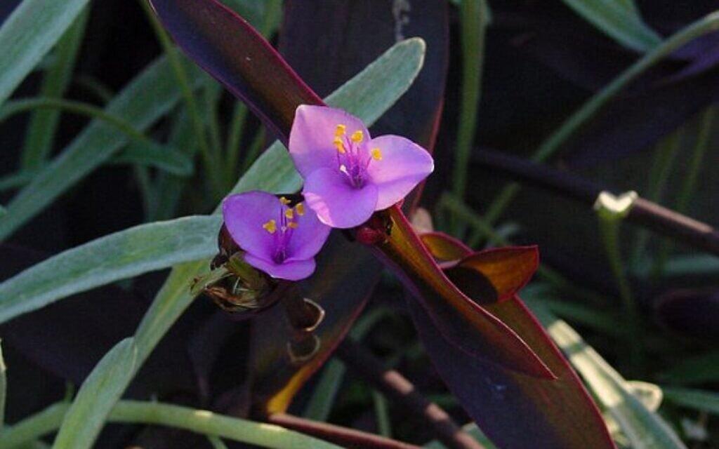 צמח היהודי הנודד (צילום: ויקיפדיה)
